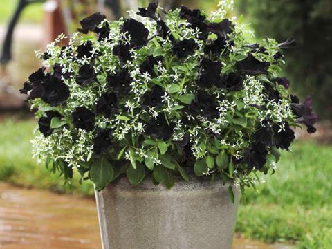 Впервые в мире ученые вывели абсолютно черные цветы