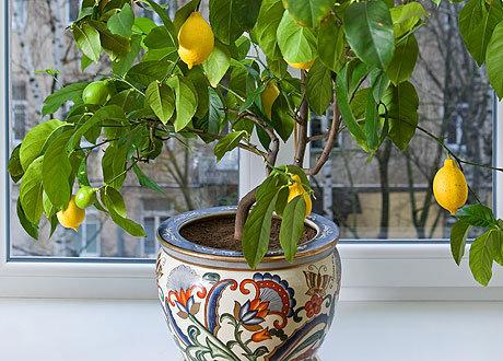 Картинки по запросу Как вырастить лимонное дерево дома?