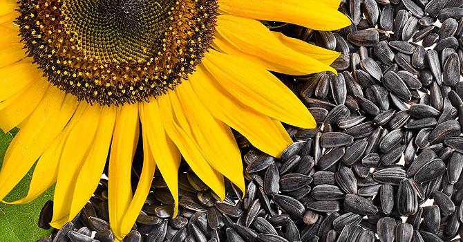 Жареные семечки подсолнуха: вред и польза. Вредны ли жареные семечки подсолнуха?