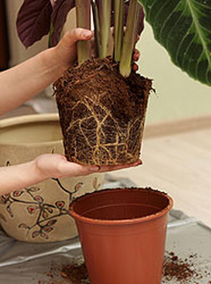 ПЕРЕСАДКА комнатных растений и цветов: как и когда ЛУЧШЕ? 3